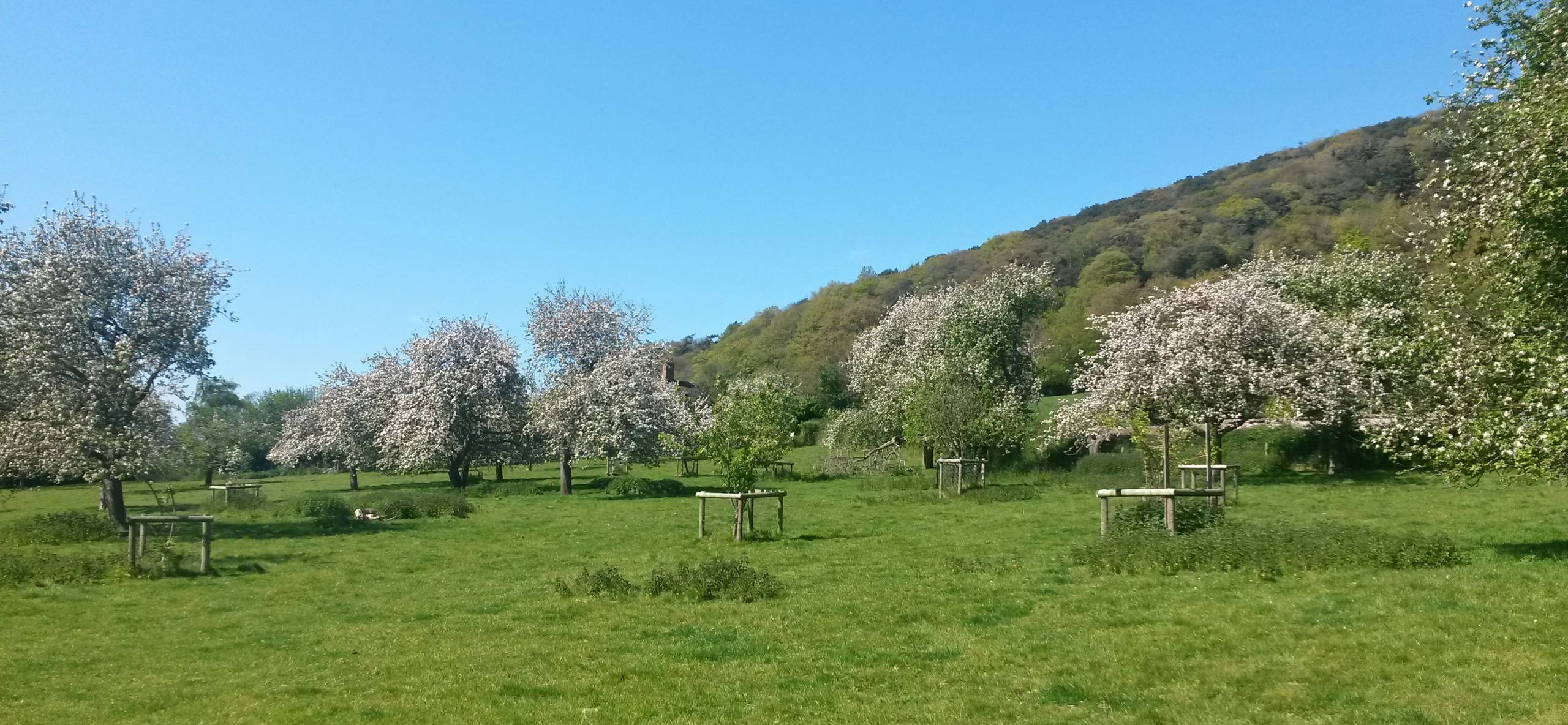 Porlock orchard in bloom